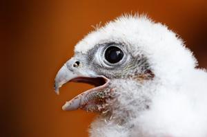 Photo gallery: Young US Bank peregrine falcons