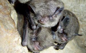 <p>The Village of Sunrise Beach is expanding its sewer system, but the federal government is making sure endangered bats and migrating monarchs are undisturbed in the process. According to the Missouri Department of Conservation, the Indiana bat hibernates during the winter in caves throughout the Ozarks.</p>