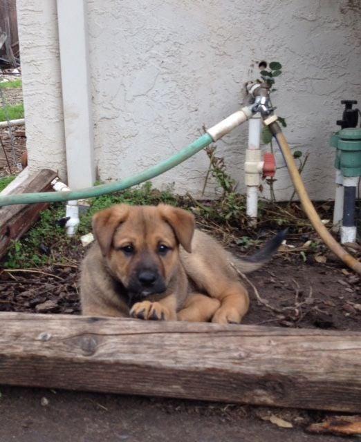 American Akita/Rottweiler puppies image 1