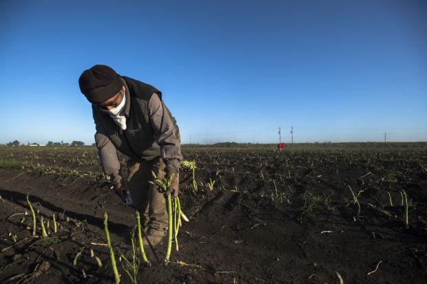 Asparagus harvest near Tower Park west of Lodi, 2013