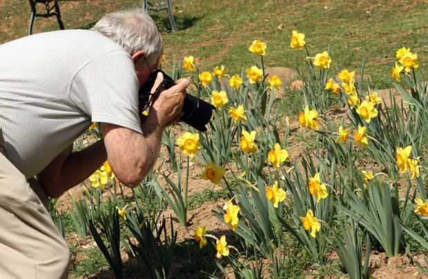 The Hill is alive with blooming daffodils
