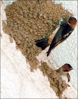 Barn swallows come to Lodi, nest at Staples