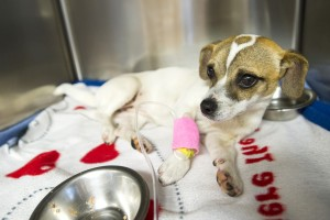 Hit by a car on St. Patrick's Day, puppy saved by Lodi police is recovering