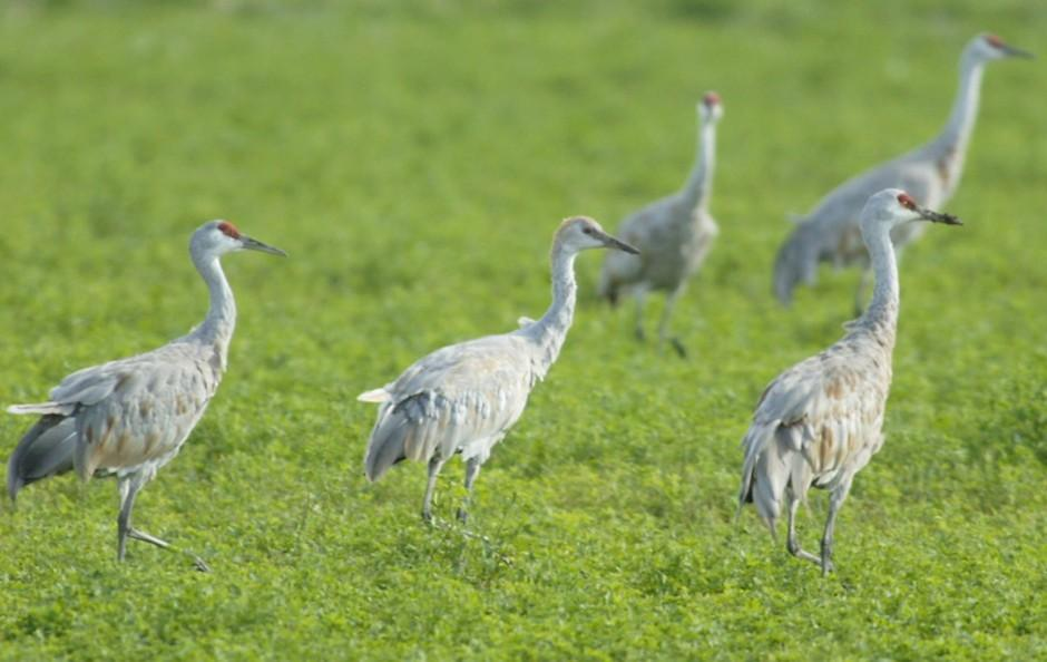 Find feathery fun at the Sandhill Crane Festival