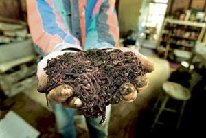 Galt-area man says his worms make the 'world's best fertilizer'