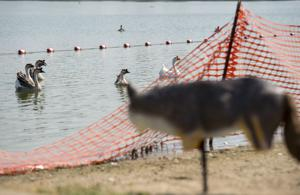 Meet Lodi Lake's newest predator