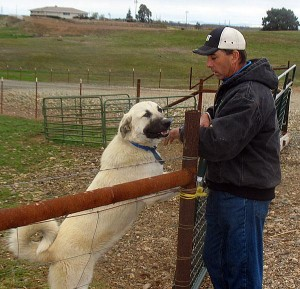 Herald rancher Gary Silva caters to increasing demand for goat meat