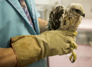 Lodi police officer rescues fallen Swainson's hawk on Church Street