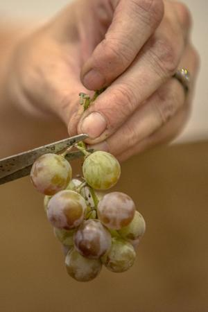 Get ready for the Lodi Grape Festival!