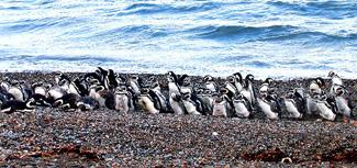 Penguins of Argentina