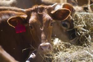 Virtue Calves' business suffers after crackdown by federal government