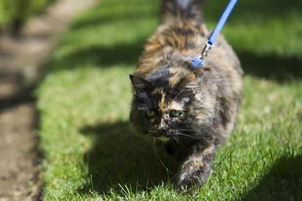 For Lodi cat, love of her leash began with one trip outside