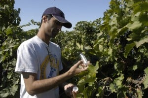 test4Lodi growers set up sting on pests