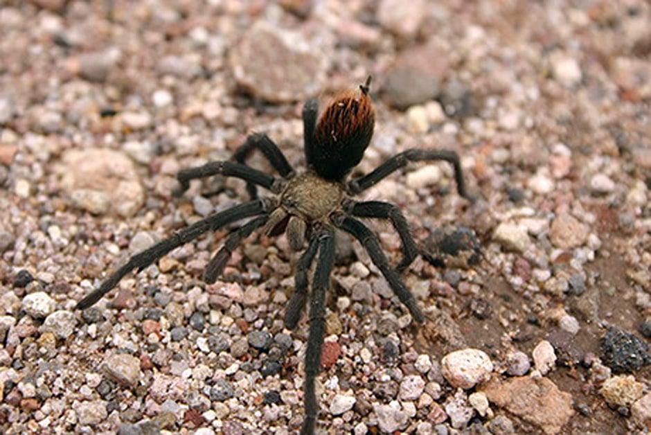 Celebrate spiders at the 14th annual Tarantula Festival