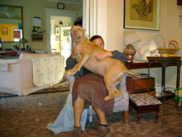 My 98 lb American Pit Bull Puppy