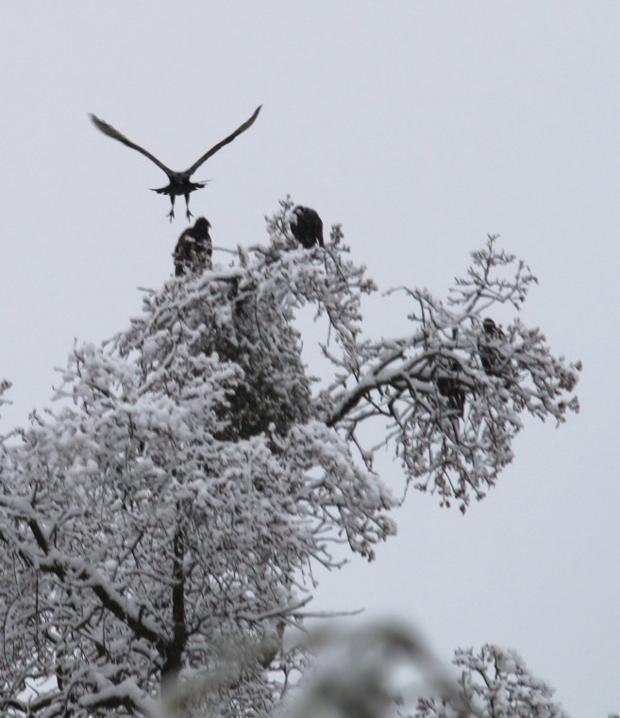 Buzzard tree