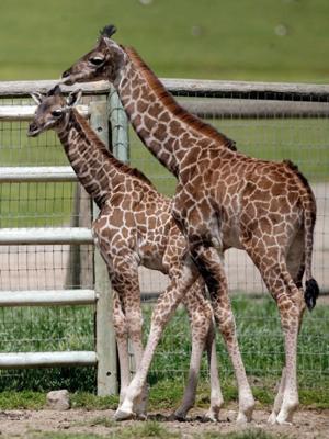 Wildlife adventures await visitors on the savannah at Safari West in Santa Rosa