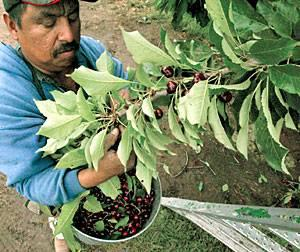 Growers rush to harvest cherries in San Joaquin County