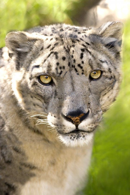 San Joaquin County supervisors debate proposed snow leopard exhibit