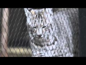 New Bobcat at Micke Grove Zoo