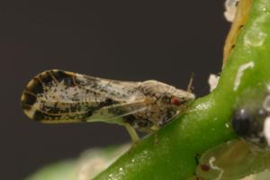 Lodi citrus trees to be treated for invasive insect