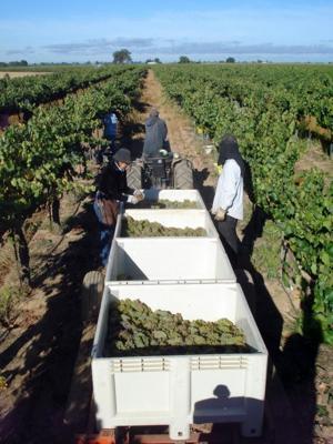 Harvesting Borra Chardonnay