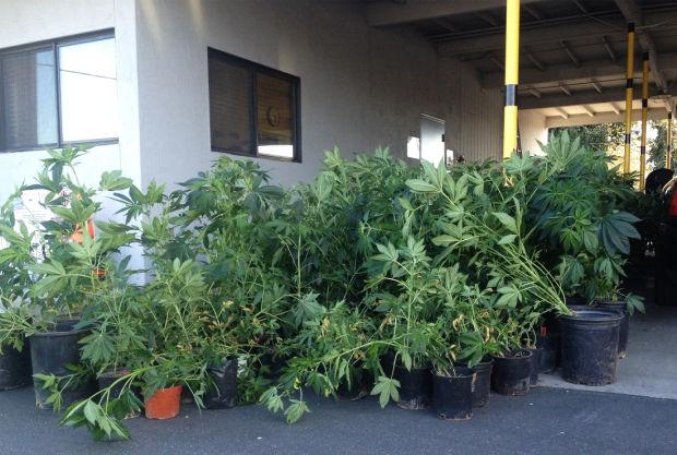 Nearly 150 marijuana plants seized in Lodi traffic stop