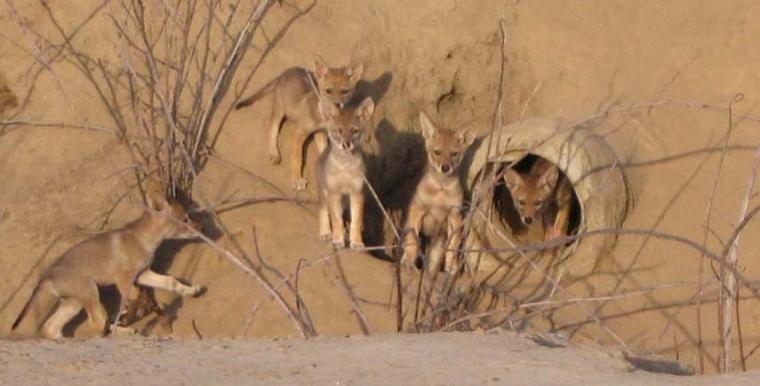 5 Coyote Pups in Lodi