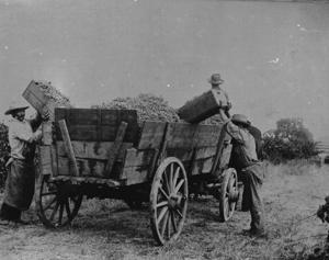Vintage View: Early harvest challenges