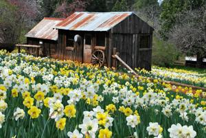 Serendipity: Daffodil Hill is blooming