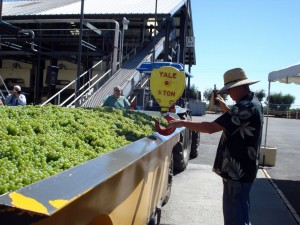 4+ Tons of Sauvignon Blanc
