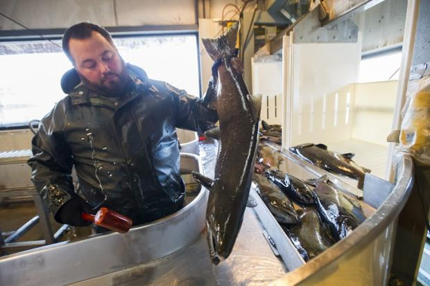 Ensuring the survival of Chinook salmon