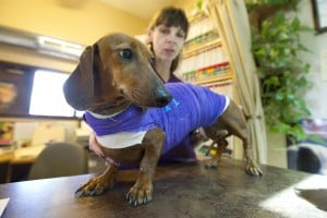 Hopey the Daschund on road to recovery from major injuries