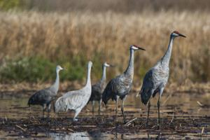 Drone aids in Sandhill crane conservation efforts