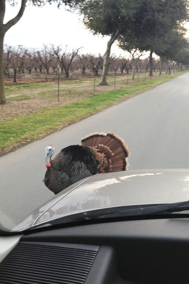 Fowl-tempered turkey ruffles feathers at Lodi dog kennel