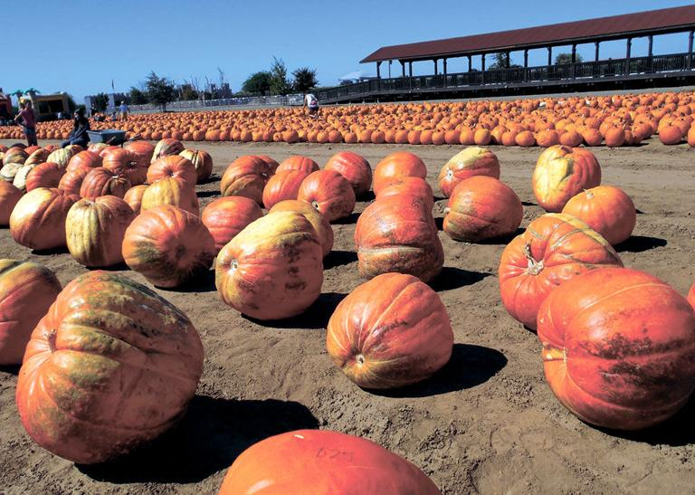 Explore mazes, choose a pumpkin, tour a haunted castle at Dell'Osso Family Farms in Lathrop