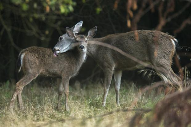 Stalking the elusive stag of Lodi Lake