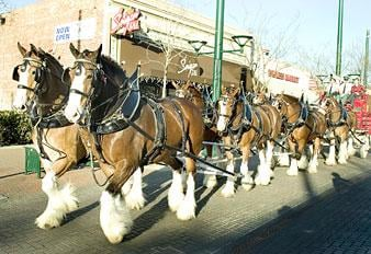 Budweiser makes deliveries to bars in Downtown Lodi
