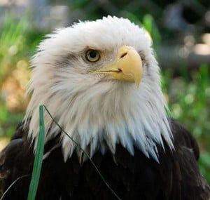 Micke Grove Zoo’s bald eagle, Modoc, dies at age 40