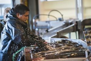 Ensuring the survival of Chinook salmon