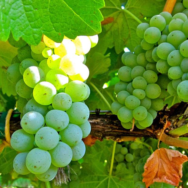 The 2011 LangeTwins Lodi Sauvignon Blanc is refreshing