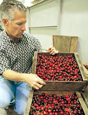 Recent downpours dampen local cherry harvest