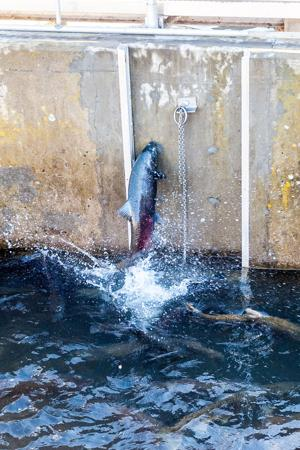 Despite dry year, Mokelumne River teeming with salmon