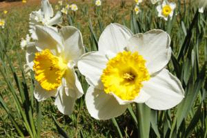 Amador County carries a bright spring tradition in Daffodil Hill