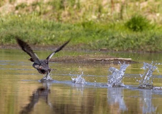 Ducks on the Mokelumne