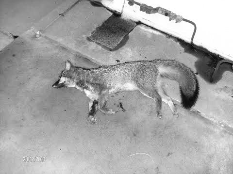 Gray fox dies after stepping on a transformer