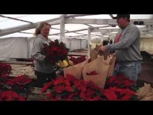 Christmas poinsettias are a growing business for Lodi's Hollandale Nursery