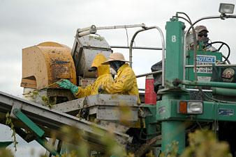 Local grape harvest looks strong despite damp weather