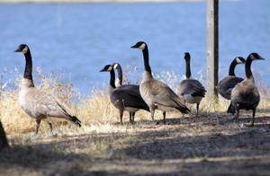 How to decrease the geese?
