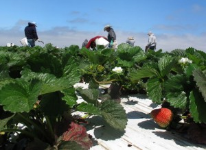 Controversial strawberry pesticide taken off the market